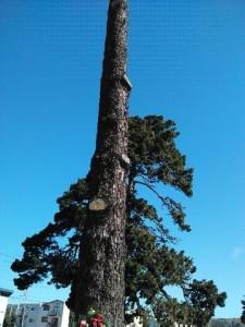 busto de la Guadalupana en rama del árbol en el panteón Olivett en la ciudad de Colma California